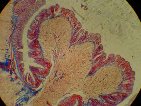Classical histology staining